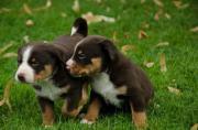Appenzeller-Sennenhund Welpen