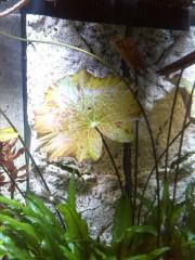 Aquariumpflanze Tigerlotus