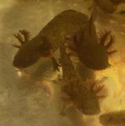 Axolotl babys