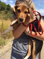 Beagle Mix Welpe