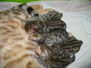 Bengal kitten, Bengalkitten,