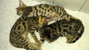 Bengal Kitten, Reinrassige
