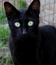 Bengale melanistic spotted
