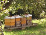 Bienenbestäubung