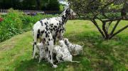 Bildschöne reinrassige Dalmatiner