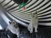 BKH & BLH Kittten