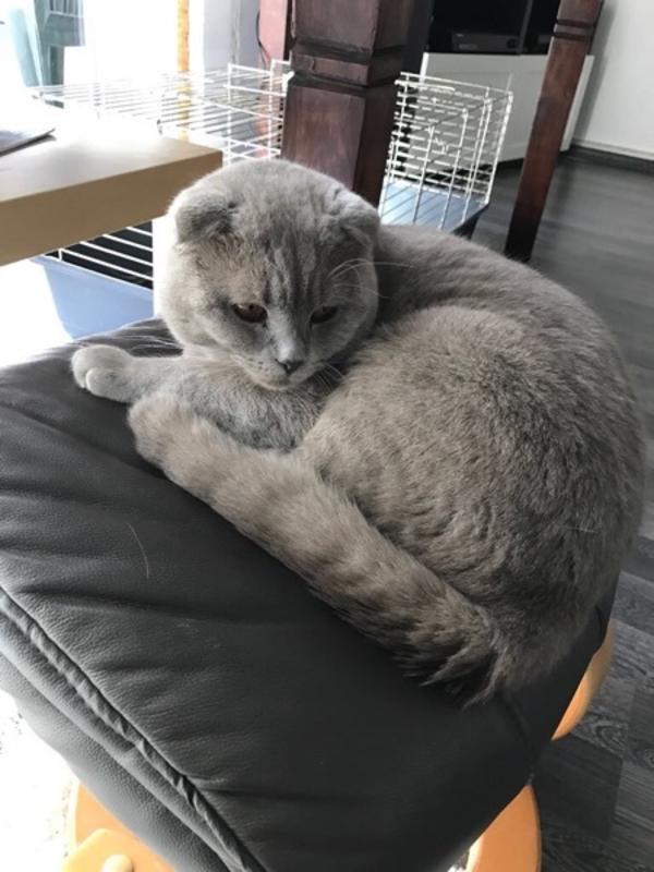 BKH British Kurzhaar » Katzen