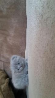 BKH Katzenbaby zu