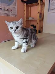 BKH / Kitten black-