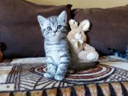 BKH Kitten silver-