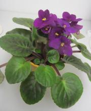 Bluhende Zimmerpflanzen Hoya Klivie Kaktus Usambara