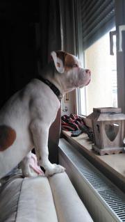 Bordeaux dogge Boxer