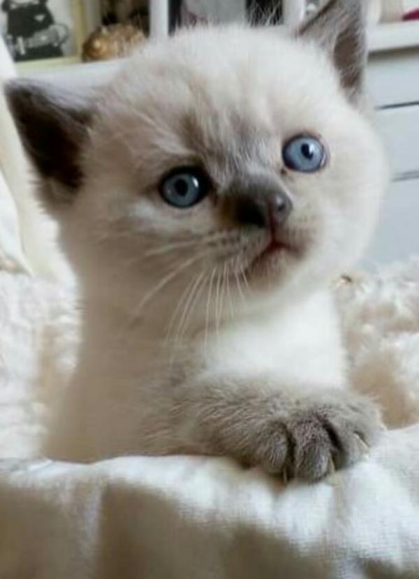 britisch kurzhaar babys colorpoint mit blauen augen in b u00f6hlen