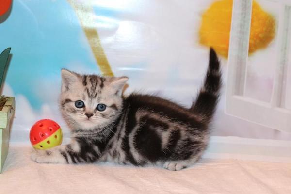 Britisch Kurzhaar - Whiskaskatzen, » Katzen