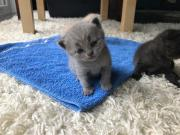 British Kurzhaar Katzen