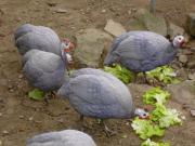 Bruteier Perlhühner azurblau
