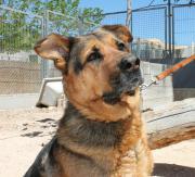 CAVA - Rottweiler-Schäferhund-