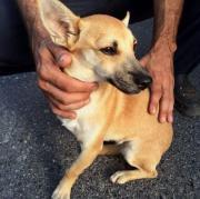 Chihuahua BETTY,11