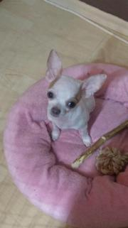Chihuahua Welpe mit
