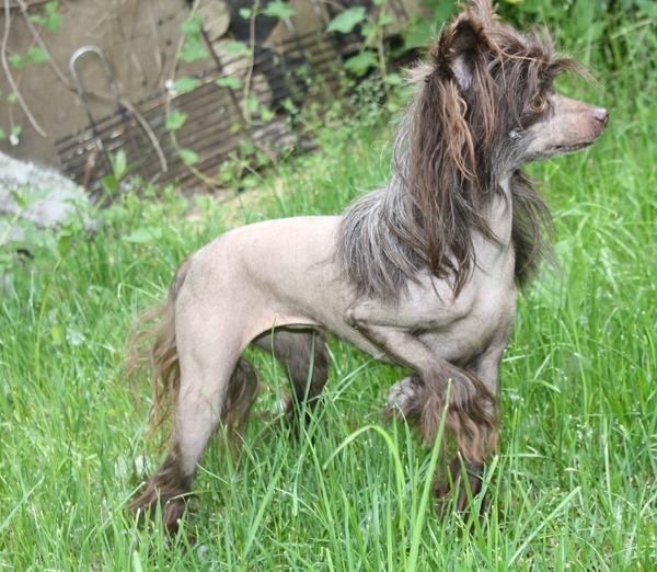 Chinese crested dog » Hunde