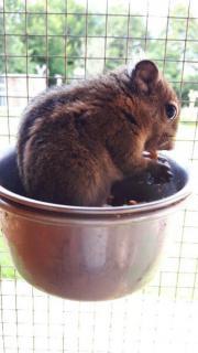 chinesische Baumstreifenhörnchen abzugeben