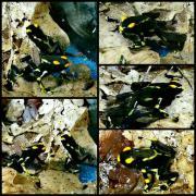 Dendrobates tinctorius Alanis