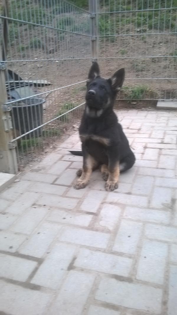 Deutscher schaferhund baby kaufen
