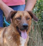 Enok, Schäferhund Labrador