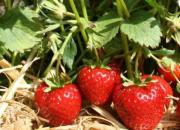 Erdbeeren pflanzen 50ct./