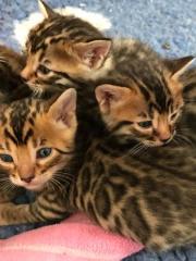 Fehlerfreie Bengal Kitten,