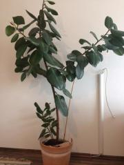 Ficus Elastica - 1,