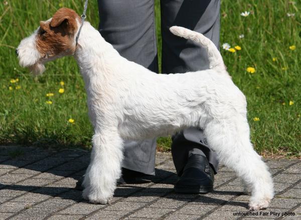 Erfreut Drahthaar Fox Terrier Zu Adoptieren Zeitgenössisch - Die ...