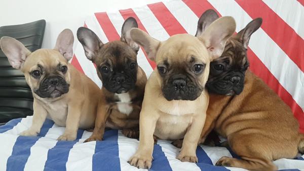 Französische Bulldoggen - Welpen » Hunde