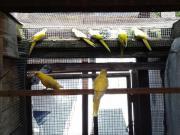 Gelbe Schönsittiche ohne