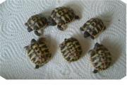 Griechische Landschildkröten - Wollen