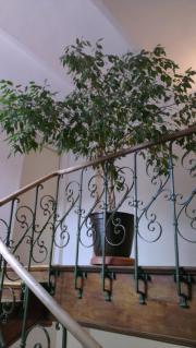 Große Birkenfeige / Ficus