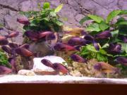 Fische aquaristik kaufen und verkaufen bei for Teichfische hannover
