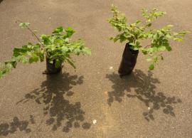 Haselnuss Haselnussbusch Haselnussbaum: Kleinanzeigen aus Sinsheim - Rubrik Pflanzen