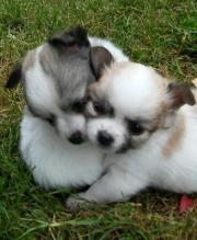 Hübsche Chihuahua Babys !