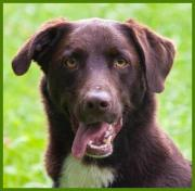 Jake 7 Jahre - Labrador-Border Collie-Mix -