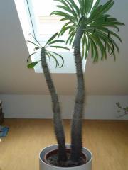 zimmerpflanze au ergew hnlich kaktus hnlich imposant top pflanze blickfang in rottweil. Black Bedroom Furniture Sets. Home Design Ideas