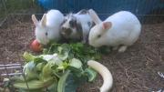 Kaninchen abzugeben mit