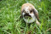 Kaninchen: Zwergwidder Weibchen