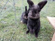 Kaninchenpaar