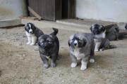 Kaukasische Schäferhund-Welpen,