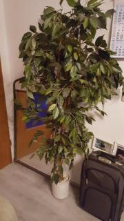 Künstl.Ficus Benjamin