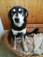 Labrador bernersennen Mischling