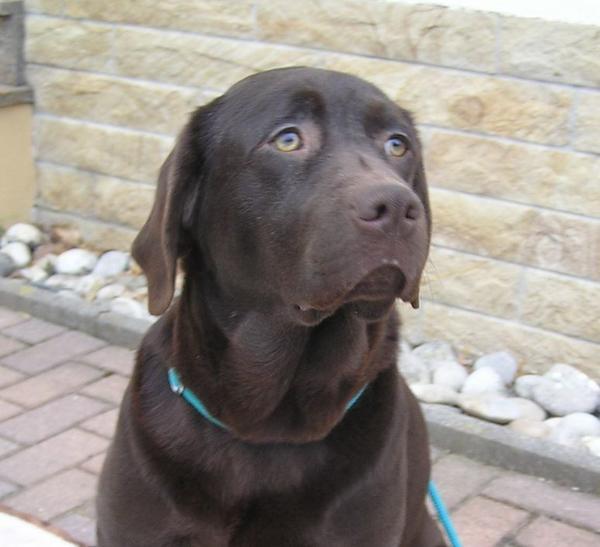 Labrador Hündin 2 Jahre HD / ED frei abzugeben! - Waischenfeld - Labrador erwachsen Die Hündin ist gesund und sehr brav. Wird als Familienhund abgegeben. Nicht zur Zucht geeignet! Weitere Infos gerne telefonisch unter 09202-972426. Weitere Angaben: Hündin, Farbe: braun, EU-Heimtierausweis, Ahnentafelvo - Waischenfeld