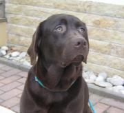 Labrador Hündin 2
