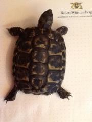 Landschildkröte THH (Sardinien)